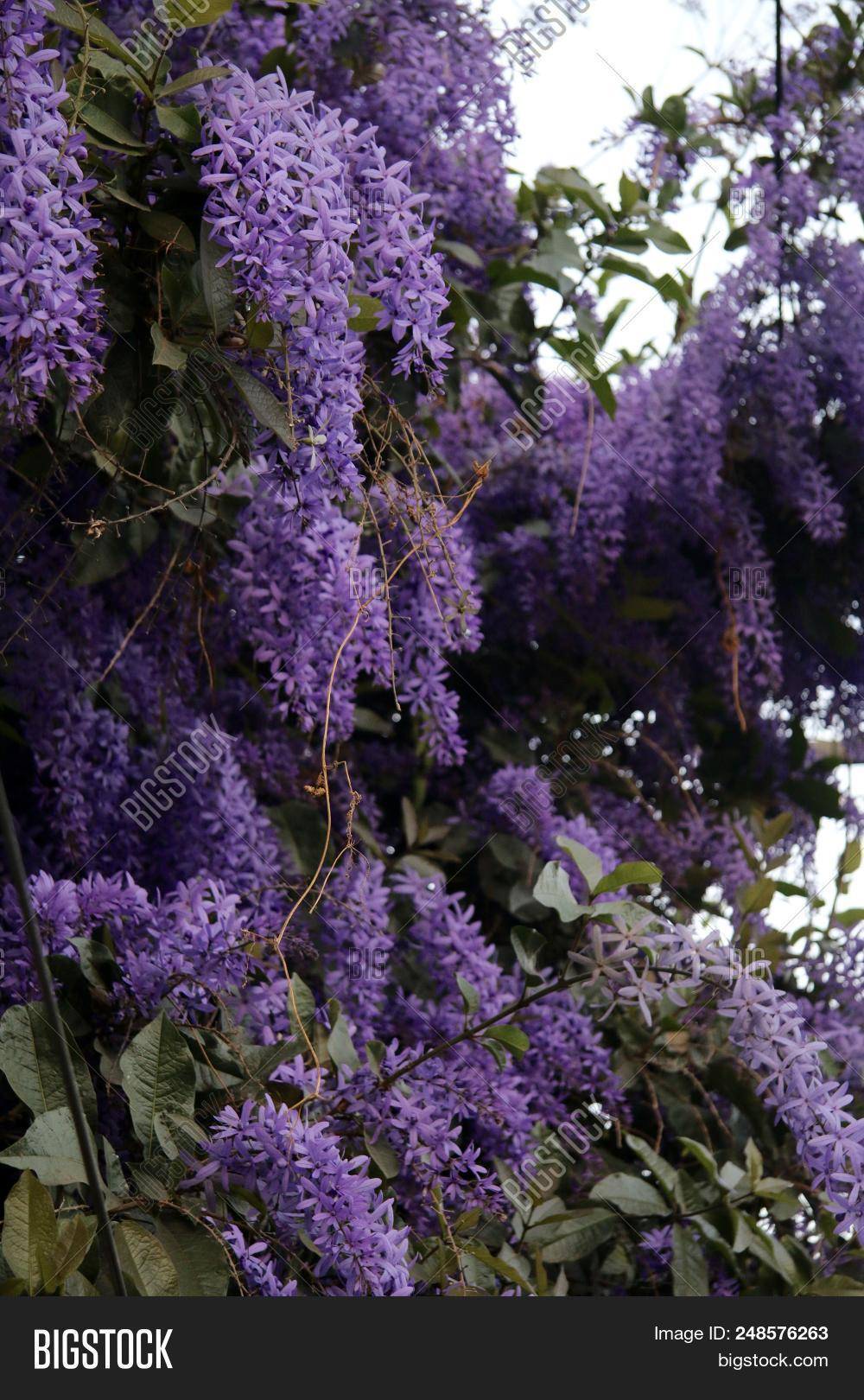 Big Bunches Of Purple Hanging Flowers Of The Petrea Vine Growing In A Garden.