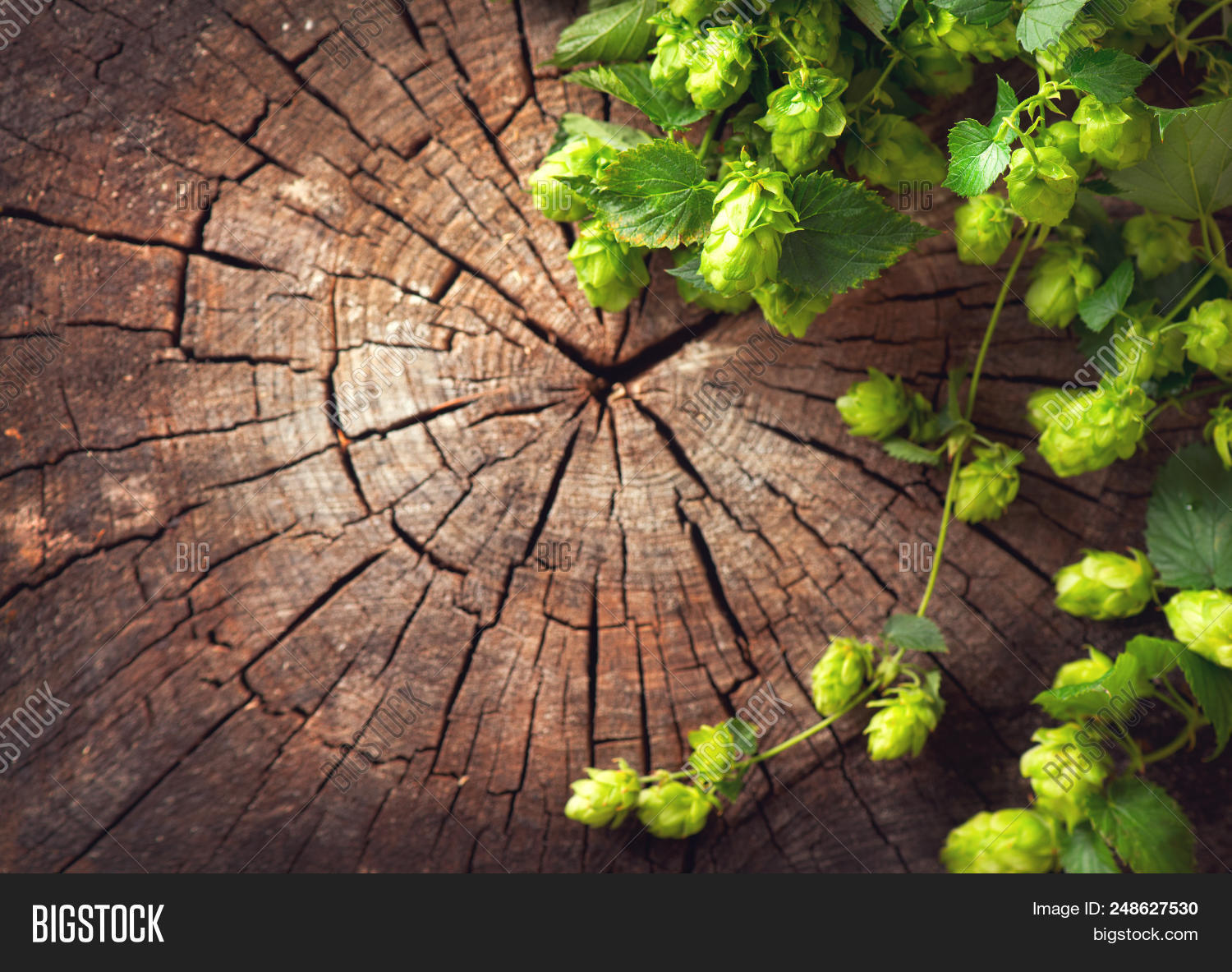 Hop Twig Over Old Image Photo Free Trial Bigstock
