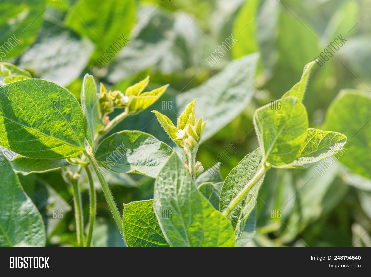 young soybean plant image photo free trial bigstock