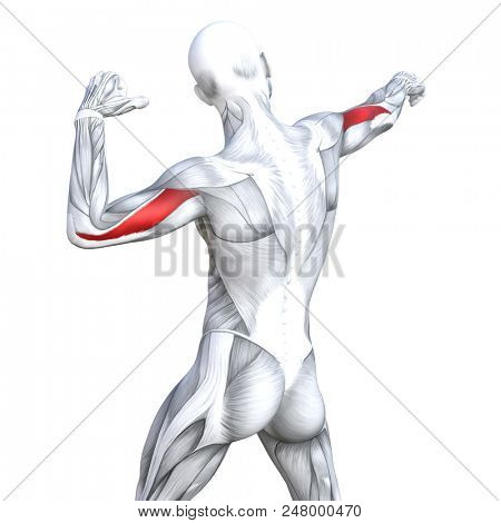 Concept conceptual 3D illustration triceps fit strong human anatomy anatomical and gym muscle isolated, white background for body health with biological tendons, spine, fitness medical muscular system