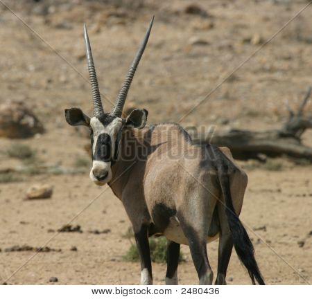 Antílope Oryx Namibio