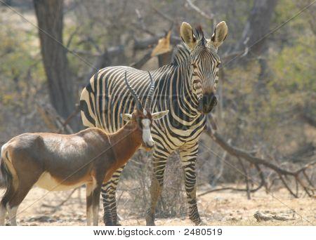Cebra y Blesbok