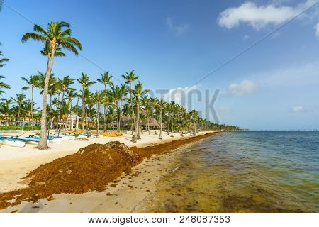 Punta Cana, Dominican Republic - June 25, 2018: : sargassum seaweeds on ocean beach in Bavaro, Punta Cana. Due to global warming, the altered ocean current bring sargasso to Dominican Republic coast.