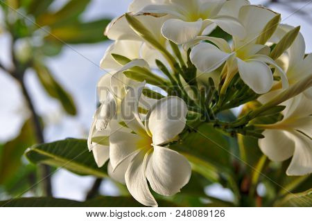 White Pure Frangipani Temple Asian Flower On Sky Background