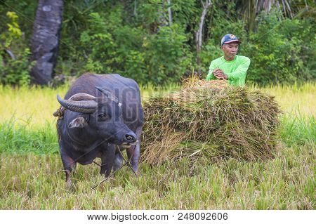 Marinduque , Philippines - March 31: Filipino Farmer Working At A Rice Field In Marinduque Island Th