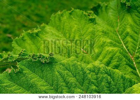 Detailed View Of Rare South American Giant Rhubarb