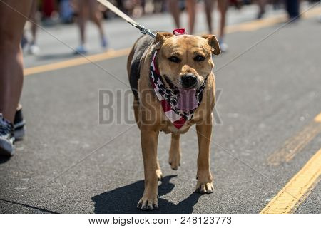 Brown Mixed Breed Dog Enjoys Walking The Street While Celebrating Independance Day With Red White An