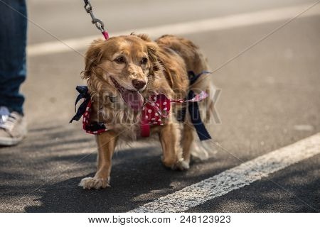 Mixed Breed Doxen And Golden Retriever Wearing Red Bow With White Polka Dots While Walking The Stree