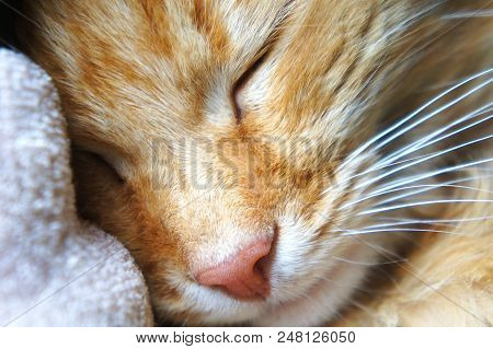Sleeping Ginger Cat Close-up Pink Cat's Nose Muzzle Near