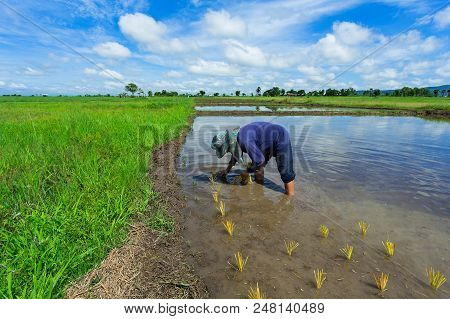 Thailand rice farmers planting season for household consumption and for income of the family for a long time,Farmers grow rice, agriculture blur. poster