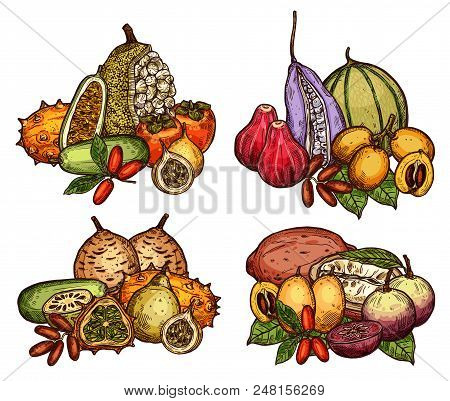 Exotic And Tropical Fruit Bunch Sketch. Date And Miracle Fruit, Cantaloupe, Kiwano And Persimmon, Gr