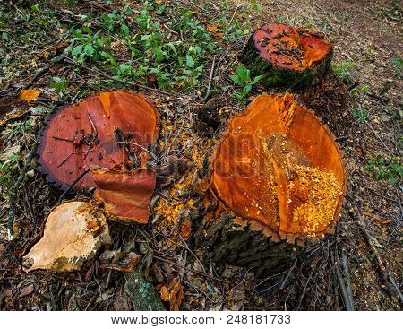 Stump Valuable Tree Alders. Cutting Valuable Species Of Trees Under The Pretext Of Sanitary Cleaning