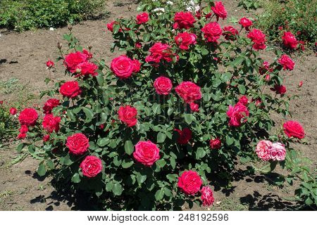 Cerise Red Flowers On The Rose Bush
