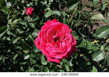 Cerise Red Flower Of Rose In May