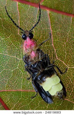 Firefly (Lightning Bug)