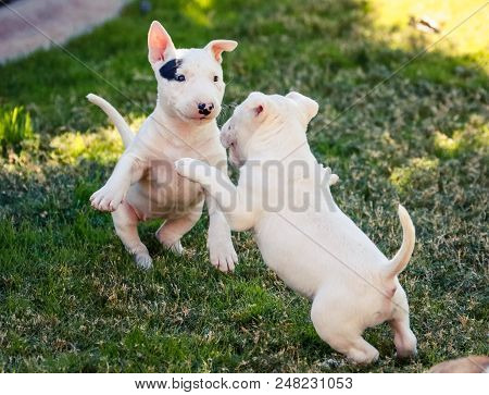 Two Young Bull Terrier Puppies Playing With Each Other On The Grass