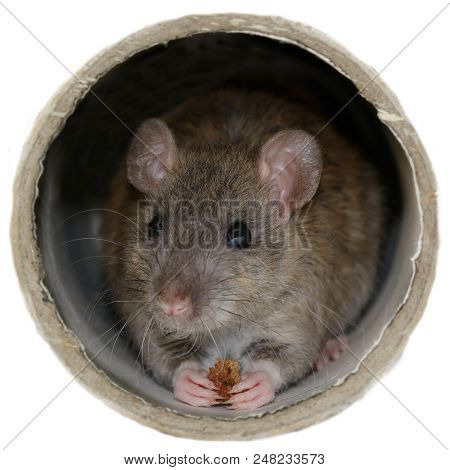 Closeup The Young Rat (rattus Norvegicus) Eats Rusk Inside The Pipe. Isolated On White Background. C
