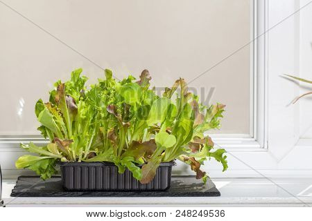 Home-grown organic vegetables. Lettuce plants growing on a kitchen windowsill. Healthy vegan leaf vegetable grown at home for a nutritional food diet. poster