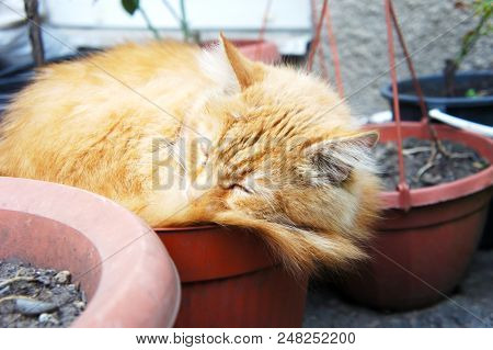 Ginger The Cat Is Sleeping In A Pot