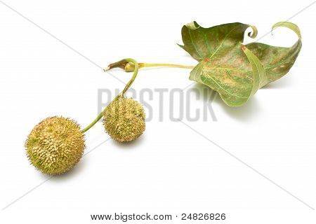 Plane-tree Seed Balls In Autumn