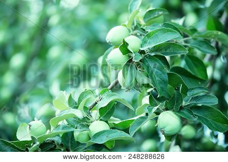 Young Unripe Green Apples On A Branch