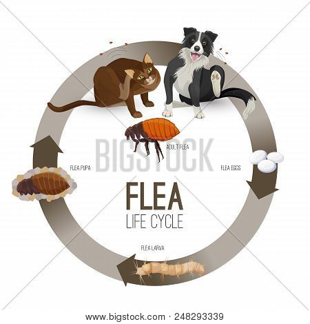 Flea Life Cycle Circle Vector. Pets With Harmful Parasites Suffering From It. Dog And Cat Scratching