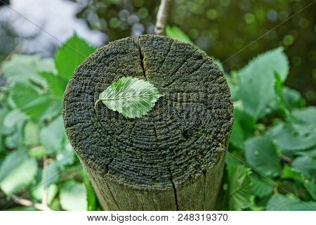One Green Leaf On A Gray Dry Stump
