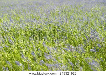 Background - Noon Meadow Motley Grass With Flowering Lucerne On A Windy Day