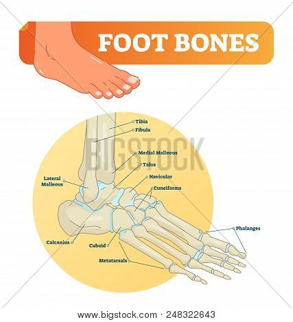 Foot Bones Vector Illustration With Labels. Medical Diagram With Tibia, Fibula, Malleous, Talus And