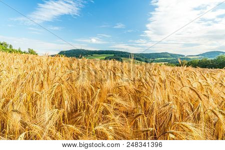 Windy Wheat Field On A Summer Day, Landscape Close Up Fresh