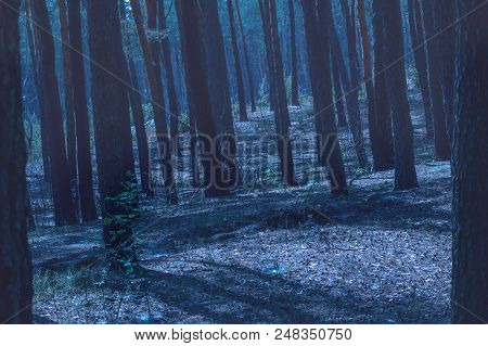 Pine Trees Grow On A Small Slope In A Night Time Coniferous Forest Covered In Fog With A Terrible An