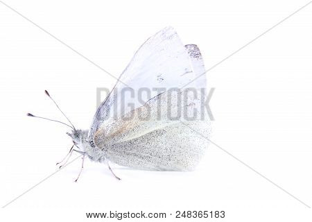 Cabbage Or Whiting Cabbage (pieris Brassicae) - A Butterfly From The Family Of Whitecaps