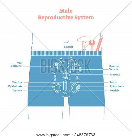 Artistic Style Male Reproductive System Vector Illustration Educational Poster. Health And Medicine
