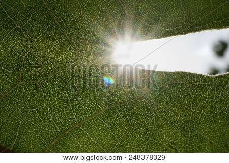 Rays Of The Sun Break Through A Green Leaf. Green Leaf Illuminated By The Sunlight From The Back. Na