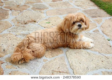 Redhair Lhasa Apso Dog Lying Down In A Garden
