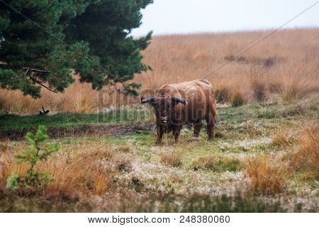 Highland Cow Grazing In A Dutch Forest With Snow On The Ground
