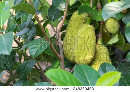 Closeup Jackfruit On Tree Branch Nature  Fruit