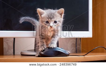 A Kitten Near A Computer. Kitten With A Computer Mouse. Work With The Computer In The Office. Valuab
