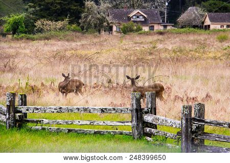 Two Young Deer Stepping Carefully Through A Country Meadow.
