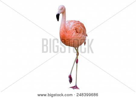 Pink Flamingo Photographed Over A Pure White Background.