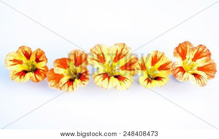 Edible Flowers Isolated On White Background: Yellow, Orange, Red Variegated Nasturtium Blooms - Trop