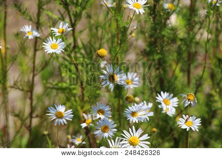Chamomile Meadow / Green Meadow On A Sunny Day / Field Chamomiles / Insects In Flowers On A Meadow