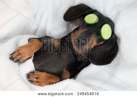 Dog Dachshund, Black And Tan, Relaxed From Spa Procedures On Face With Cucumber, Covered With A Towe