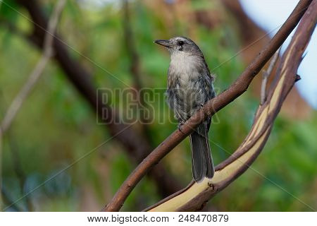 Grey Shrike-thrush  - Colluricincla Harmonica. The Grey Shrikethrush Or Grey Shrike-thrush (colluric