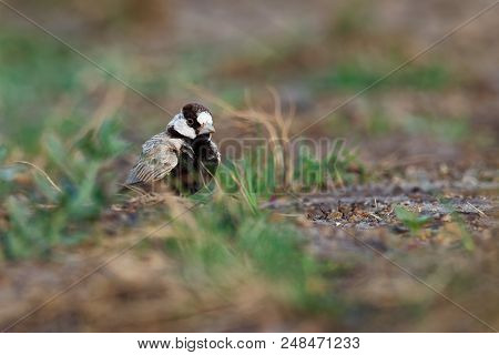 Black-crowned Sparrow-Lark - Eremopterix nigriceps in the desert of Boa Vista looking for food poster