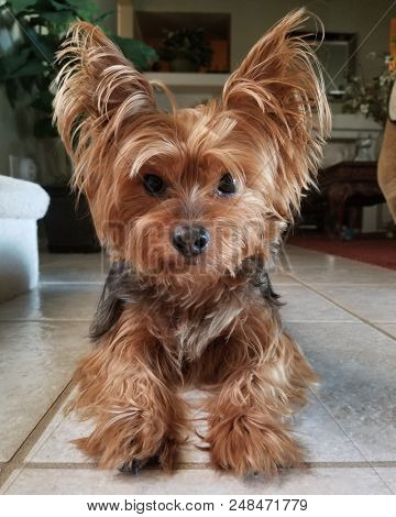 An image of a Beautiful Yorkie Yorkshire Terrier on Tile Floor.