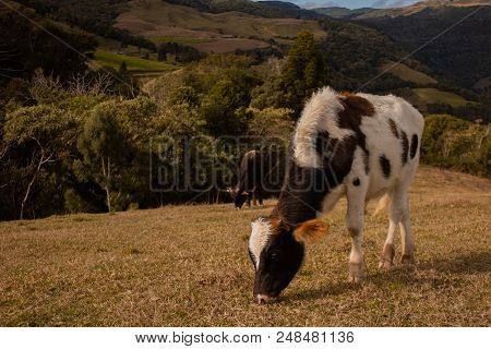 Cow photos at a isolated grass field surrounded by mountains. poster