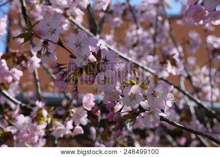 branches with pink cherry blossom in front of orange background, tender scene with pink and fragile blossoming cherry flowers poster