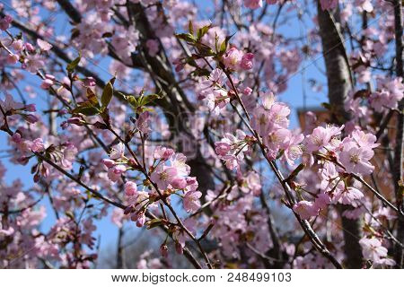 detail shot of cherry blossoms on a tree, tender scene with pink and fragile blossoming cherry flowers poster