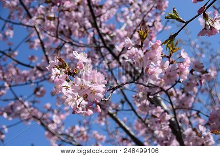 pink cherry blossoms in the spring sun in front of azure sky, tender scene with pink and fragile blossoming cherry flowers poster